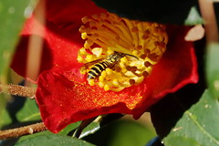 Flower fly (Jim Atkins Sr) Tags: camelliasasanqua camellia camelliasasanquayuletide flowerfly syrphidfly hoverfly fairfieldharbour northcarolina flower plant insect sony sonya58
