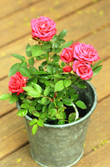 Garden roses (Julia_Kul) Tags: closeup isolated blooming flowerpot decoration bud table rosa nobody natural potted mini rose green floral white pot petal red flower leaf holiday miniature blossom bloom love arrangement small pink flora decorative garden bouquet color plant beauty composition home bunch wooden beautiful background fresh nature vase freshness