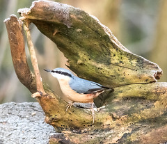 Noisy Nuthatch (steven waddingham) Tags: stevenwaddinghamphotography bird wild nature song