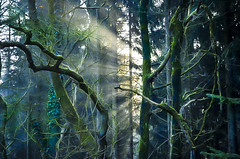 """Sunbeams in the forest  "" #Dreilnderwald# (Kalbonsai) Tags: sunbeaims forest wald bos sunbeams trees bomen zonnestralen nikon d5100 1855mm outdoorphotography naturshot germany light"