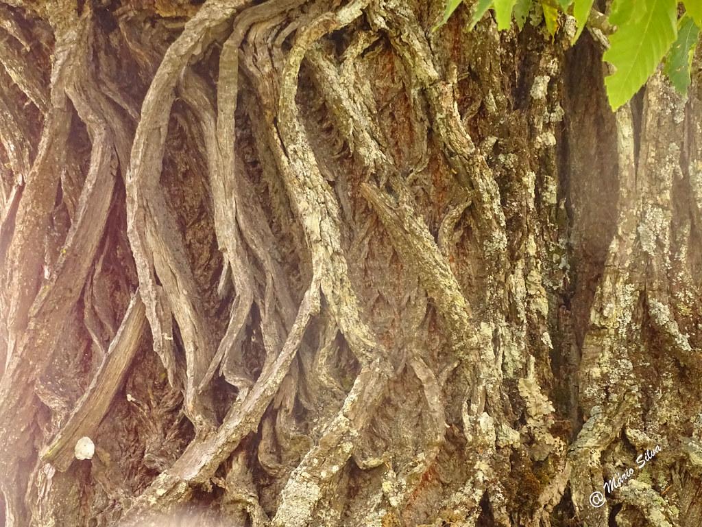 """Águas Frias (Chaves) - ... as """"rugas"""" no trnco de um velho castanheiro ..."""
