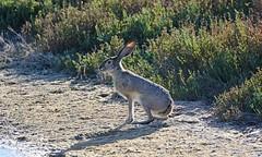 Black-tailed Jack Rabbit (Brad Rangell) Tags: blacktailedjackrabbit americandeserthare rabbit hare mammal rodent lepuscalifornicus sanmateo california sanfranciscobay
