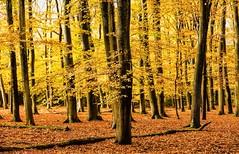 yellow trees (Alex Verweij) Tags: yellow geel tree trees boom bomen bos autumn herfst