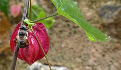 LA ABEJA DE MONELLS (Joan Biarnés) Tags: monells baixempordà empordà girona catalunya tardor otoño 210 panasonicfz1000 flor macro abella abeja