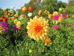 Dahlia Field (Hannelore_B) Tags: dahlien dahlias flowers pflanze plant blumen