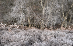 Dressing (jellyfire) Tags: eastanglia eastofengland forest frost greatbritain landscape landscapephotography sonnartfe55mmf18za sony sonya7r suffolk winter woodland atmospheric branches broadleaf cold copse countryside deciduous ecology frozen green growth knettishallheath leaves leeacaster life norfolk rural suffolkwildlifetrust trees trunk unitedkingdom woods wwwleeacastercom zeiss