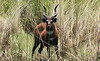 Texas Trophy Hunting - Brownwood Sitatunga Antelope 52