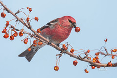 Pine Grosbeak (Mike Veltri) Tags: mikeveltri pinegrosbeak grosbeak berries avian nature birds ontario canada