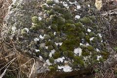 Molsa (esta_ahi) Tags: lleida lametlladesegarra segarra lasegarra lrida spain espaa  molsa musgo moss bryophyta