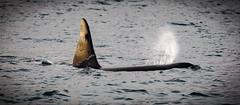 Killer Whale (Mr F1) Tags: killerwhale orca johnfanning wild senja norway blowhole breathing blowing water sea oceandawn light fin