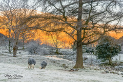 Frosty Herdwicks (Mike Ridley.) Tags: nature frosty frost lakedistrict herdwick sheep mikeridley sonya7rll winter dawn sunrise treeswing campfire