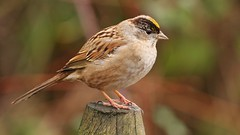 Golden-crowned Sparrow (Greatblue1) Tags: zonotrichiaatricapilla goldencrownedsparrow terranova birdinginbritishcolumbia