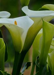 Calla lilies (Delta Naturalists Casual Birding) Tags: 201619 dncb colony dncblocation dncboutingid