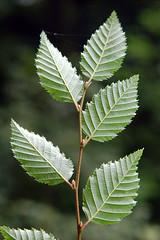 Hainbuche_Blatt_unten_DSC_2254X (schaefer_rudolf) Tags: natur pflanze baum hainbuche betulaceae laubbaum birkengewchse hagebuche weisbuche carpinus betulus