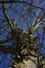 Big (King Haan) Tags: blue sky tree nature flora blauw pentax natuur boom kr lucht stam mygearandme