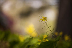 visions of spring (c'lamson (away)) Tags: blur yellow canon spring woodlands bokeh onmybelly beautifulbokeh clamson
