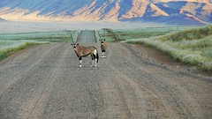 Namibia (tor-falke) Tags: africa wild game animal landscape tiere wildlife safari afrika paysage landschaft namibia antilopen torfalke flickrtorfalke