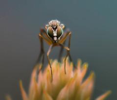 DSC_2406.jpg (Ingeborg Ruyken) Tags: macro mei thuis 2012 insecten naturephotography achtertuin empel natuurfotografie poecilobothrusnobilitatus nikonflickraward langpootvlieg slankpootvlieg
