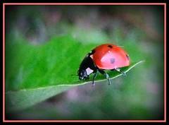 Marienkfer - lady bug (karin_b1966) Tags: nature bug garden insect natur ladybug insekt garten 2012 kfer marienkfer