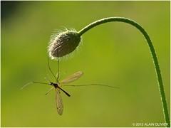 Tipula crobate