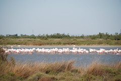 Flamingo Cluster (Let Ideas Compete) Tags: camargue france nature french rhône mediterranean sea delta wetlands marsh étangs étang de vaccarès 2012 southern provence vacation flamingo wetland bird waterfowl aquaticbird naturaleza