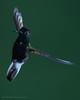 Black-bellied Hummingbird, Eupherusa nigriventris (mikebaird) Tags: bird costarica hummingbird mikebaird blackbelliedhummingbird eupherusanigriventris 09may2012