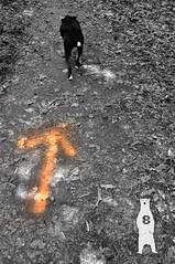 Ink  - Arrow (Bear8Photo) Tags: travel dog pet pets dogs animal animals forest ink nationalpark collie wildlife trails pitbull trail bordercollie wilderness nationalparks forests dogphotography petportrait blackandwhitedog happydog petphotography travelphotography rockyridge wildlifephotography panationalpark blackwhitedog wildernessphotography pennsylvanianationalpark rockyridgepennsylvania bear8photo rockyridgepa