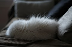 Day 90 - Some fur there (Sanciaa) Tags: light pet brown white animal cat project hair fur pentax sleep sofa rest 365 cushion 365project flickrandroidapp:filter=none