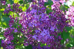 Central Experimental Farm Lilacs 010 (Chrisser) Tags: flowers ontario canada nature garden spring gardening ottawa fourseasons closeups lilacs syringa oleaceae centralexperimentalfarm canonefs1855mmf3556islens canoneosrebelt1i