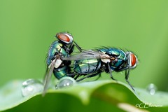 1..2..fly (2) (Ellenore56) Tags: light inspiration color colour detail macro nature animal fauna bug insect licht fly photo focus foto metallic magic sunday border natur perspective drop explore vista droplet environment imagination outlook moment creature makro magical farbe insekt brilliant ambience sonntag tier perspektive challenging fascinating bluebottle fliege tropfen umwelt fliegen augenblick blowfly pairing fokus copulation paarung lucilia trpfchen faszination leafedge greenbottlefly lebewesen tierwelt explored metallisch goldfliege faszinierend luciliasericata sonya350 schmeisfliege schmeisfliegen commongreenbottlefly animatebeing ellenore56 blattrand 19052013