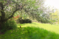 Under the apple blossoms we go (SolsticeSol) Tags: usa tree love nature outdoors photography spring day tranquility nopeople brutus scenics appleblossoms colorimage beautyinnature colorimages beautifulflowerpictures beautifulflowerimages colorimagecolorimages