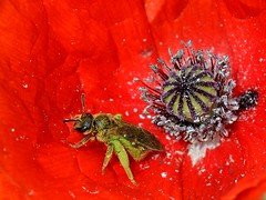 The crown and the handmaiden (giuli musico) Tags: red flower insect nikon corona poppy crown fiore rosso insetto handmaiden papavero ancella d5100