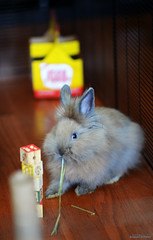 munch (Jason Scheier) Tags: pets cute rabbit bunny animal hair fur furry soft fluffy reflect creatures creature lionshead lionhead