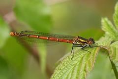 Large Red Damselfly (chaz jackson) Tags: dragonflies insects damselflies odonata pyrrhosomanymphula largereddamselfly