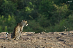Leopard On The Rock...!!! (clix.madanraj) Tags: leopard bigcat mara masai