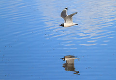 Franklin's Gull (Larus pipixcan): Crossing Harney Lake (Johnrw21) Tags: sea art nature water birds oregon photography desert wildlife gull flight lakes avian franklins