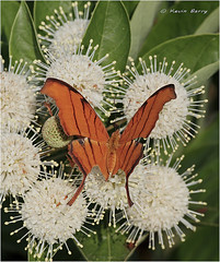 Ruddy Daggerwing on Buttonbush (Kevin B Photo) Tags: park morning flowers plants usa plant flower color beautiful beauty america photography one colorful day exterior unitedstates graphic natural florida native south wing peaceful calm southern wetlands perch vegetation daytime perched fl wildflowers southeast winged serenitynow kevinbarry wowiekazowie