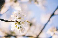 {sakura} (Audrey Meffray) Tags: blue sky flower nature canon cherry 50mm spring blossom bokeh sakura 18 cerisier 50mm18ii 450d