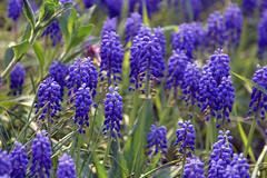 Blue flowers (bbic) Tags: flowers blue nature garden nikon muscari bucharestbotanicalgarden