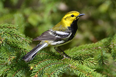 Black-throated Green Warbler (PeterBrannon) Tags: nature birds pinetree novascotia wildlife blackthroatedgreenwarbler songbird warblers shubiepark setophagavirens