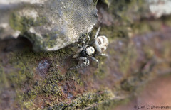 jumpinspider (Carl C Photography) Tags: macro dinner lunch time spiders jumpingspider dinnertime