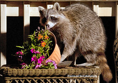 MIDNIGHT MARAUDER (Aspenbreeze) Tags: flowers rodent backyard wildlife wildanimal raccoon coloradowildlife aspenbreeze moonandbackphotography bevzuerlein
