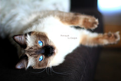 Chilli 10 (SuperNiima) Tags: pet cute cat blueeyes ragdoll
