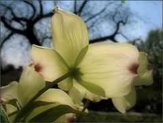 (Tölgyesi Kata) Tags: garden arboretum dogwood cornus cornusflorida floweringdogwood uppergarden budaiarborétum withcanonpowershota620 felsőkert floridaivirágossom