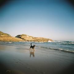 A change of scene (equineocean) Tags: ocean dog beach mediumformat holga squareformat konica analogue southernocean kelpie holga120n 120mmfilm lightsbeach denmarkwa konicaminoltacenturiasuper100 konicaminolta100ct