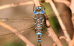 Blue-eyed Darner (Coastlander) Tags: summer southwest nature night outdoors dragonfly kansas nightlife darner odonata highplains blueeyeddarner southwestkansas