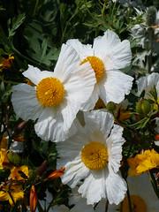 Romneya Coulteri, Poppy (Gilder Kate) Tags: kewgardens white london kew gardens poppy royalbotanicgardens romneyacoulteri