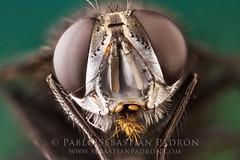 Tachinidae (Sebastin Padrn) Tags: insectos macro insect fly ecuador sebastian andes mosca padrn cuenca sebastin padron tachinidae sebastinpadrn
