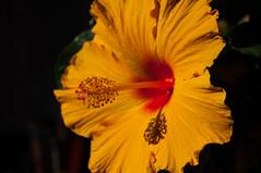 Hibiscus (emm+dee) Tags: nikon hibiscus d90