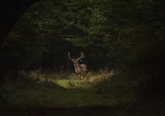 Stag at Hatfield Forest Essex (Giuseppe Baldan) Tags: